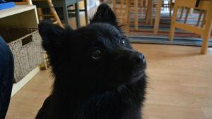 Hunden Bella är av rasen Mittelspitz eller tysk spets.