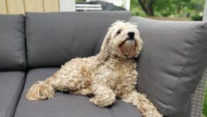 En ljusbrun hund med lockig päls ligger på en soffa. Hunden tittar uppåt.