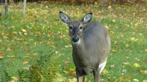 En hjort på en gräsmatta, gula höstlöv. tittar rakt in i kameran samtidigt som den tuggar på något.
