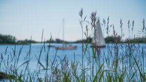 Säv på en havsstrand, segelbåtar i bakgrunden.