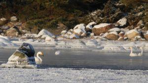 Isen drev sångsvanarna från skärgården ut mot öppnare vatten kring Hangö Udd.