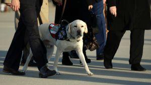 Servicehunden Sully, en gul labrador, följer sin husse George HW Bush till graven.