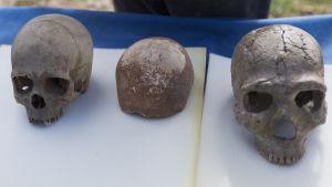 Skallfynd placerat mellan nutidsmänniskas och neandertalares skalle.