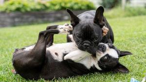Ranskanbulldoggi Ruusu ja bostoninterrieri Lily