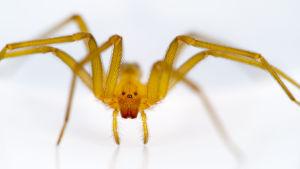 Myrkyllinen hämähäkki