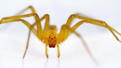 musta leski hämähäkki suku puoli