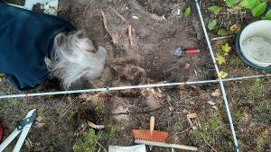 Bild av en utgrävningsgrop uppifrån. En kvinna böjer sig ner över gropen där man kan urskilja ett hästkranium.