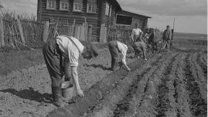 soldater sätter potatis