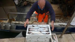 Den kroatiske fiskaren Danilo Latin radar upp sin fångst på kajkanten.
