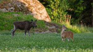 Hirvi ja valkohäntäkauris kesäyössä metsänreunassa, pellon laidalla.