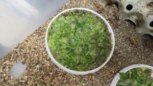 Mosad gurka i en plastlåda för hussyrsor.