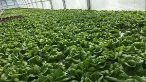 Salaattia Husulan puutarhan kasvihuoneessa