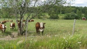 Kor på Koskis gårds betesmarker