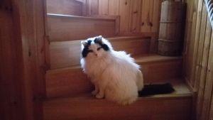 Martin Lindkvists långhåriga katt