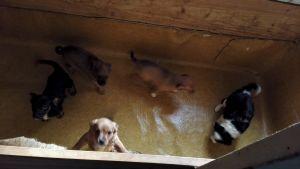 Illegalt införda hundvalpar som polisen har tagit hand om. Augusti 2016.
