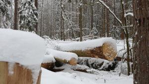Träd som den statliga polska skogsstyrelsen fällt