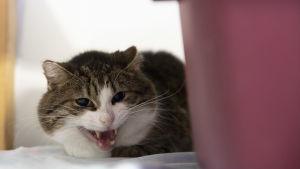 Kissa lähikuvassa