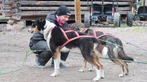 Djurskötare Emilie Nygård gör i ordning ett hundspann vid Bearhill Husky i Rovaniemi, oktober 2020.