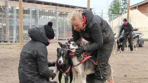 Djurskötare gör i ordning ett hundspann vid Bearhill Husky i Rovaniemi, oktober 2020.