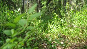 Blåbärsris i en skog på Råkärrområdet i Ekenäs