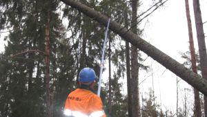 Ett träd tas bort från elledningar i Manngård i Karis. Trädet föll i stormen Dagmar.