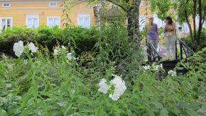 Vit flox vid Runebergs hem i Borgå