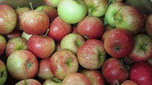 Äppel i mängder.