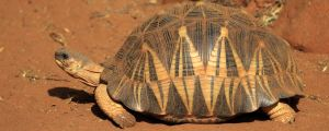 Strålsköldpadda.