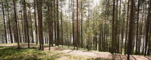 Mäntyjä harjun laella, taustalla järvi, Suomussalmen Soivassa Metsässä.
