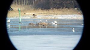 Hägrar och svanar sitter på en klippa. De ses genom kikaren.