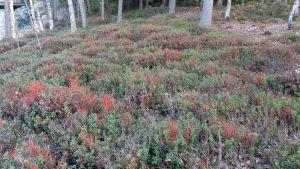 Kuivunutta mustikkakasvustoa Savonrannan rantametsäkuviolta 19.5.2014