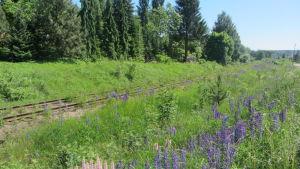 Lupiner vid järnvägsräls i Lovisa