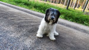 Fårhunden Schappe