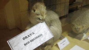 täytetty orava vitriinissä