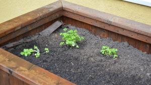 örter planterade av pensionärer