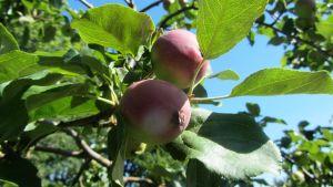 Spara två äpplen per blomklase om du vill skörda stora äpplen