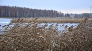 Vass i rörelse med vinden en kall, frisk vinter/höst dag.