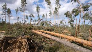 Myrskyn jälkeen kaatuneita mäntyjä