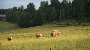 Kor betar i en hage med skog i bakgrunden.