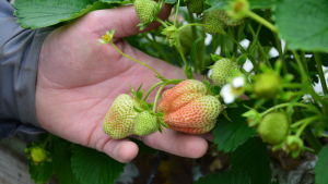 En person håller upp några ofärdiga jordgubbar.