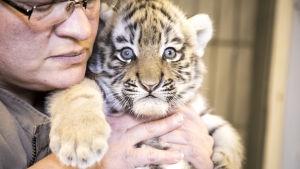 Skötare håller upp tigerunge.
