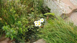 Blommor i en klippskreva.