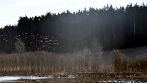 Ett gäng med fåglar flyger över en våtmark.