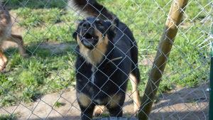 En av hundarna på hittedjurshemmet i Barösund.