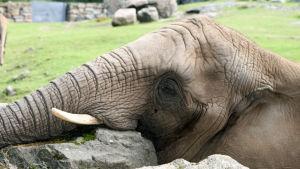En elefant ligger och vilar med huvudet på en stor sten.