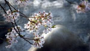 Körsbärsblommor i Tokyo, Japan 2008.