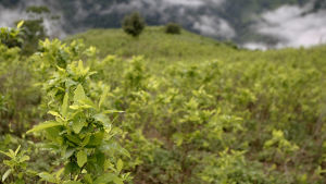 Kokabuske i Colombia