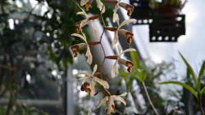 En orkidé