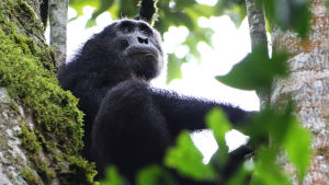 En schimpans i Kibale National Park i Uganda.