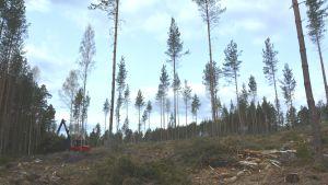 Skogsarbete i Dönsby West i Karis.